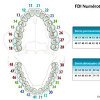 Anatomie des dents FDI-numérotation-des-dents
